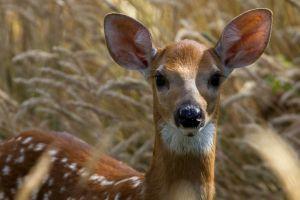 c80-deer-3.jpg