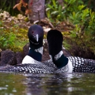 loons-6