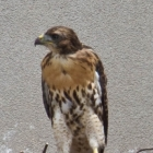 redtailedhawk-1