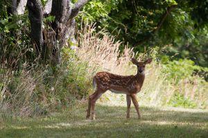 c79-deer-4.jpg