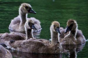 c84-geese-1.jpg